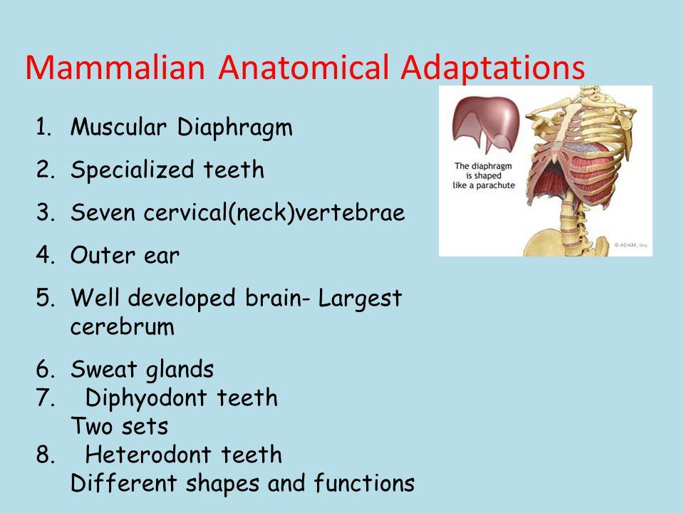 Mammalian Anatomical Adaptations