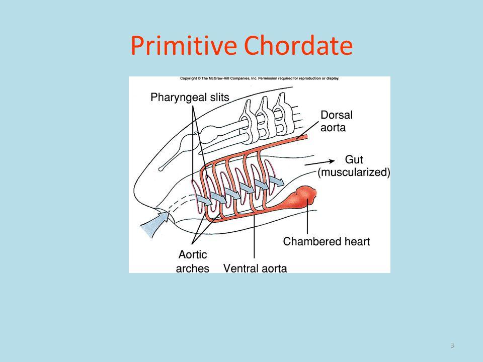 Primitive Chordate