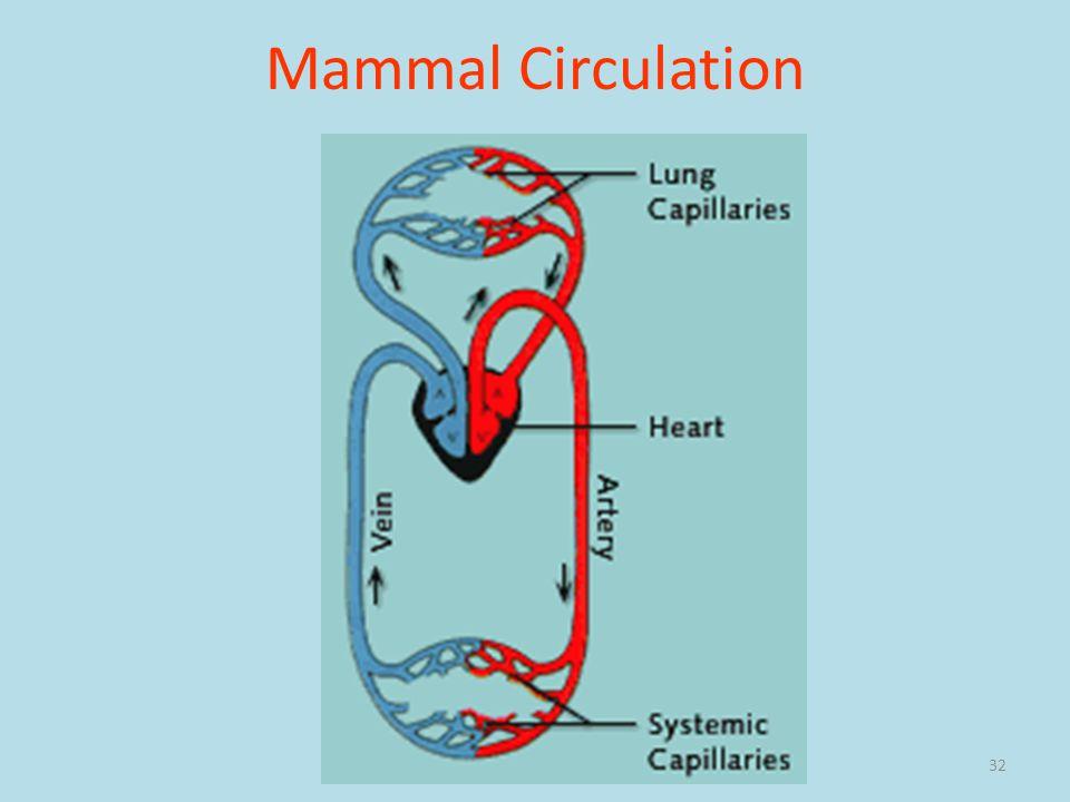 Mammal Circulation