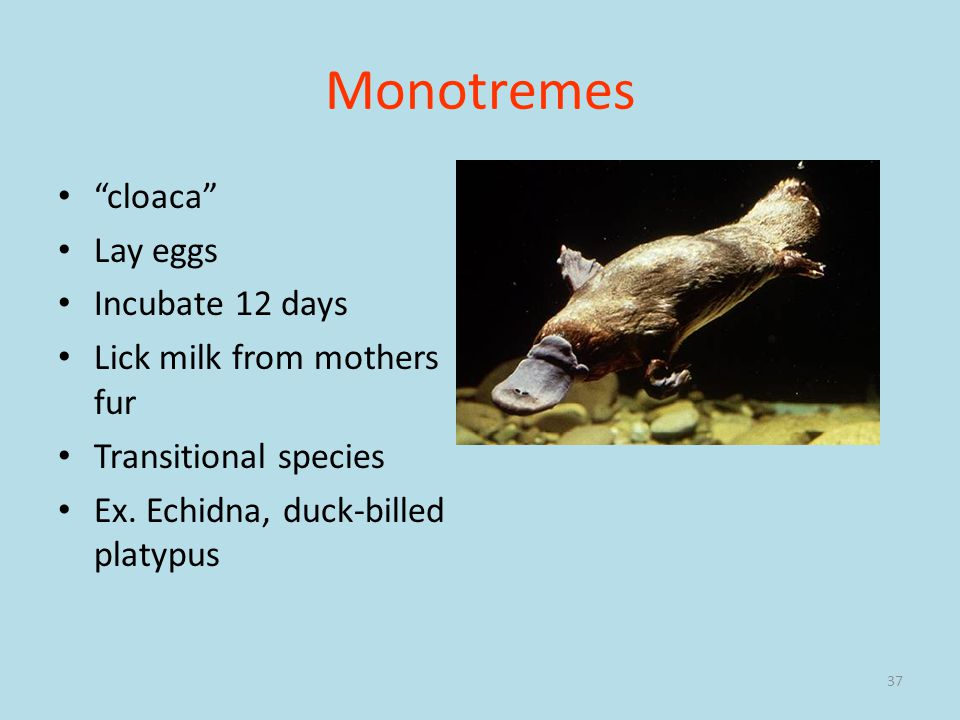 Monotremes cloaca Lay eggs Incubate 12 days