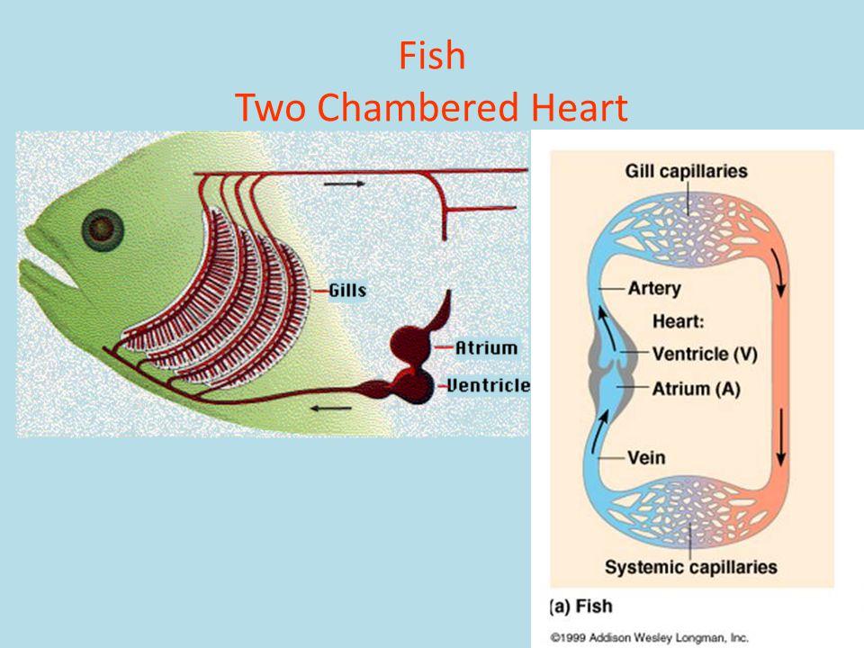 Fish Two Chambered Heart