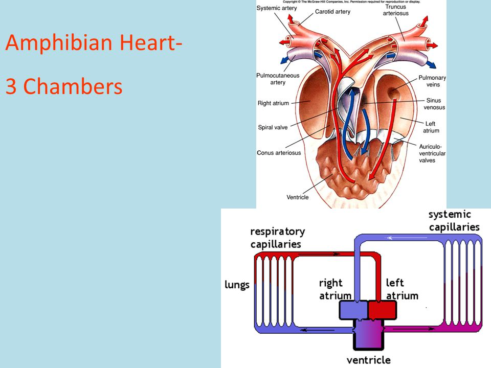 Amphibian Heart- 3 Chambers Fig. 31.11