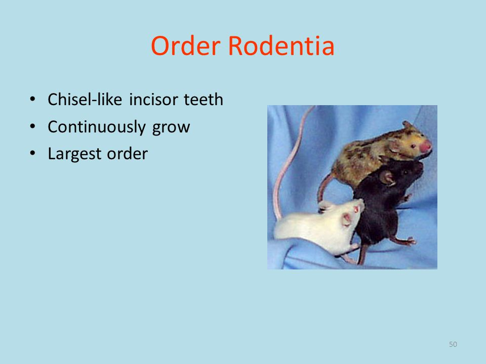 Order Rodentia Chisel-like incisor teeth Continuously grow