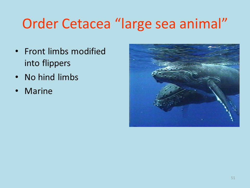 Order Cetacea large sea animal