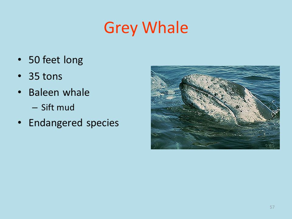 Grey Whale 50 feet long 35 tons Baleen whale Endangered species