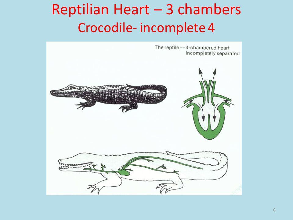 Reptilian Heart – 3 chambers Crocodile- incomplete 4