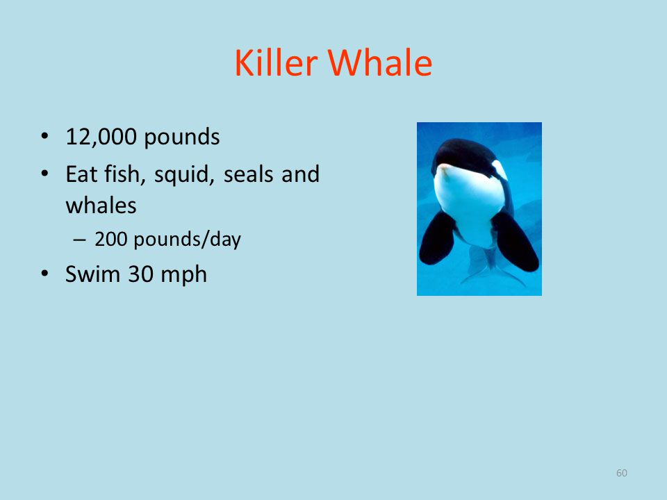 Killer Whale 12,000 pounds Eat fish, squid, seals and whales