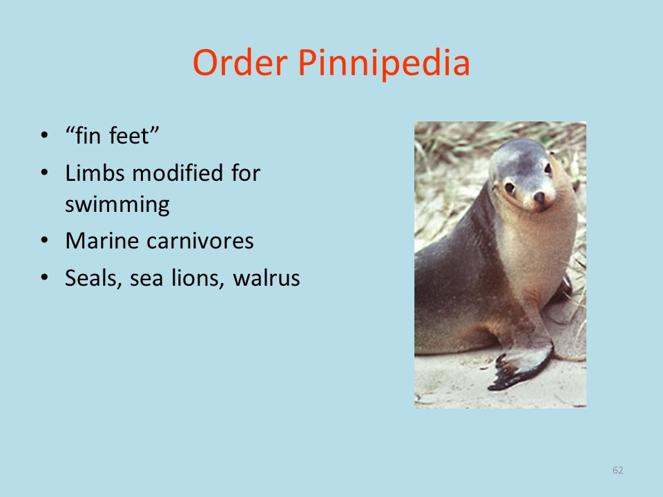 Order Pinnipedia fin feet Limbs modified for swimming