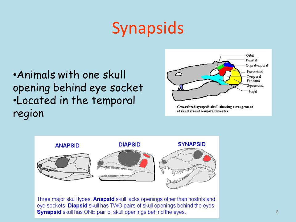 Synapsids Animals with one skull opening behind eye socket