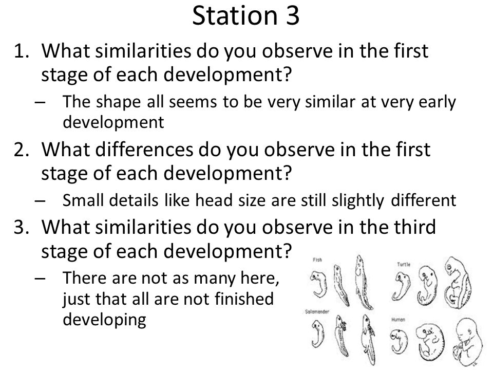 Station 3 What similarities do you observe in the first stage of each development The shape all seems to be very similar at very early development.