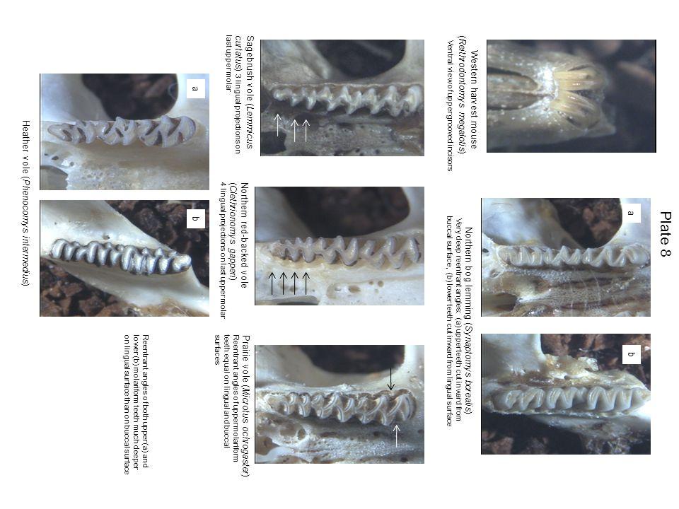 Plate 8 Western harvest mouse Sagebrush vole (Lemmicus