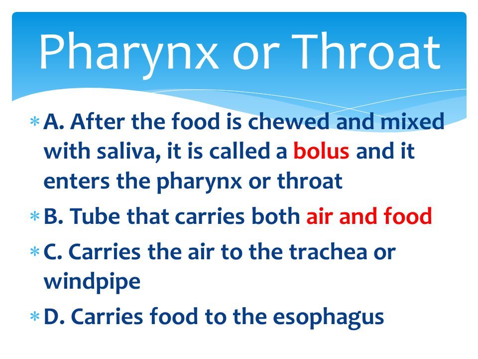 Pharynx or Throat A. After the food is chewed and mixed with saliva, it is called a bolus and it enters the pharynx or throat.
