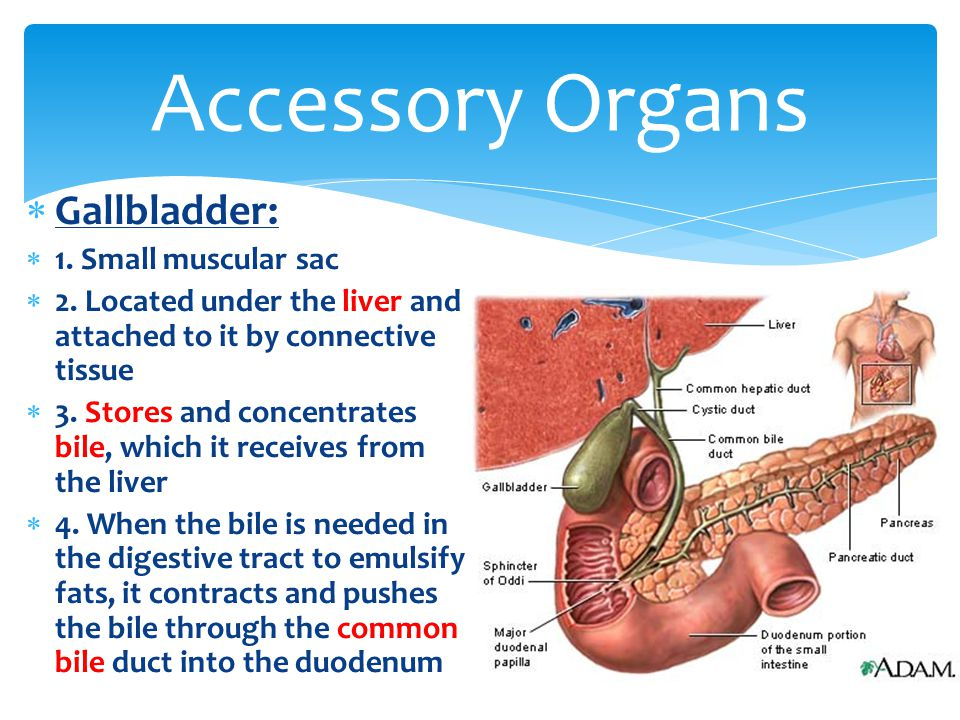 Accessory Organs Gallbladder: 1. Small muscular sac