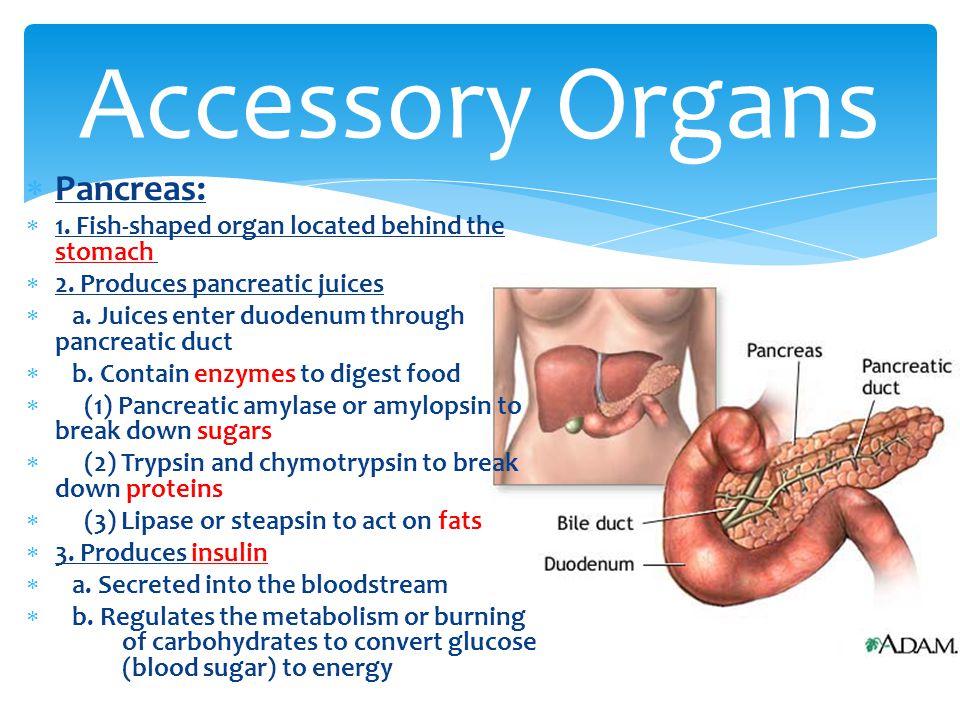 Accessory Organs Pancreas: