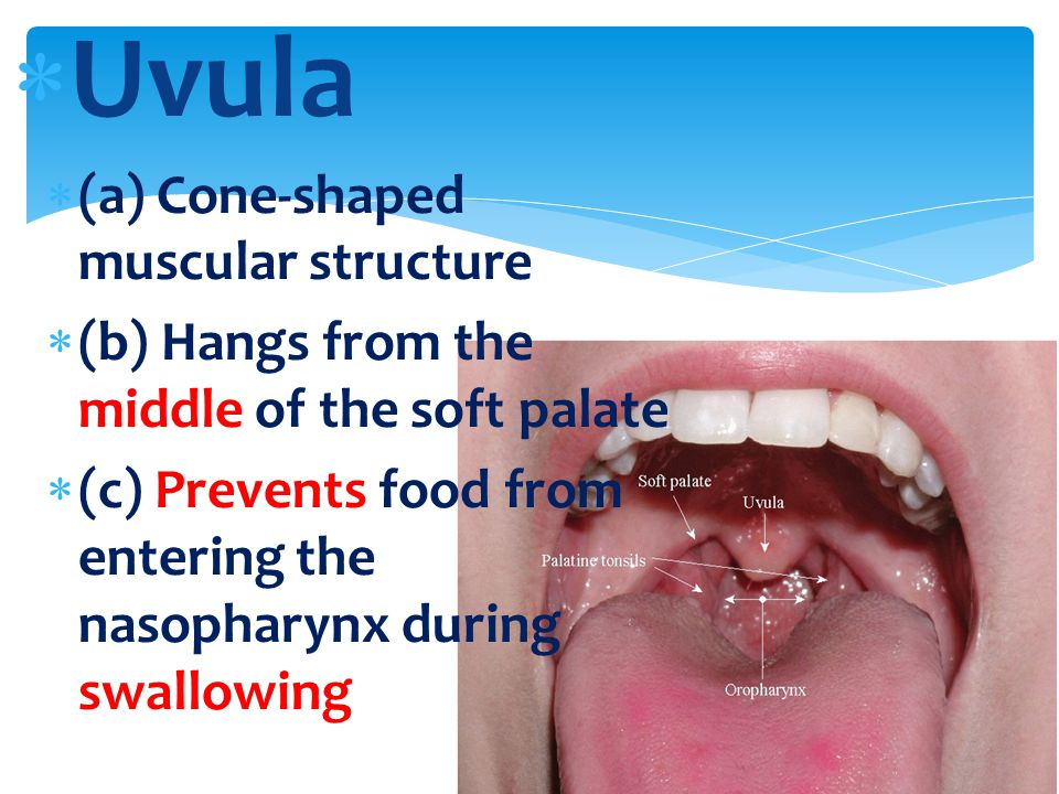 Uvula (a) Cone-shaped muscular structure