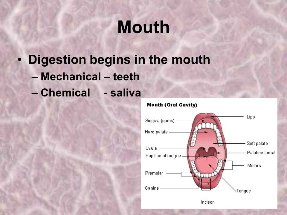 Mouth Digestion begins in the mouth Mechanical – teeth