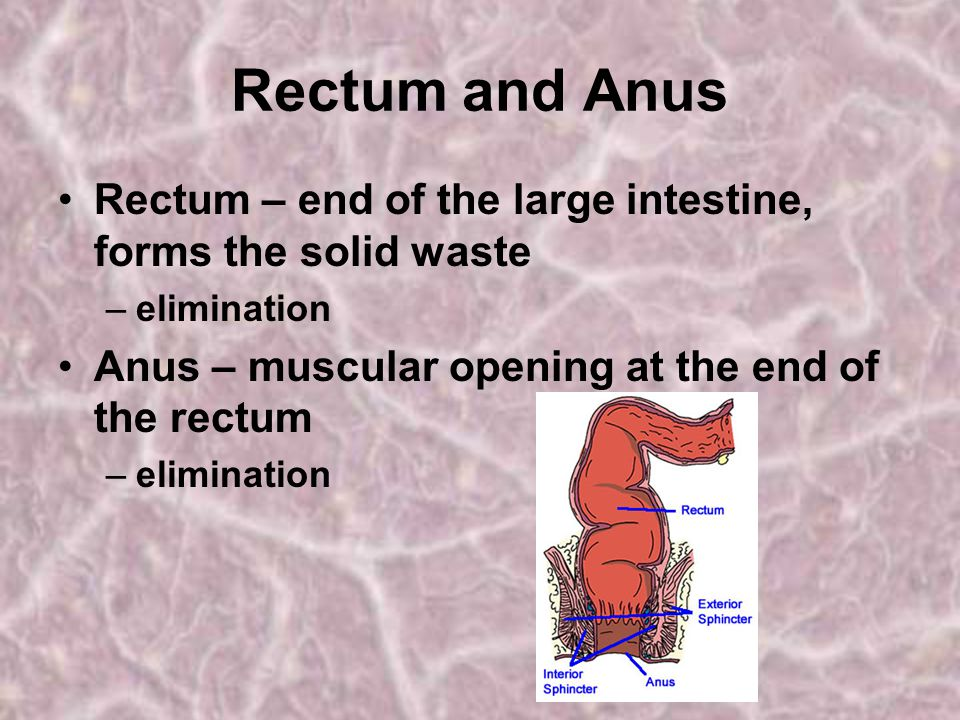 Rectum and Anus Rectum – end of the large intestine, forms the solid waste.