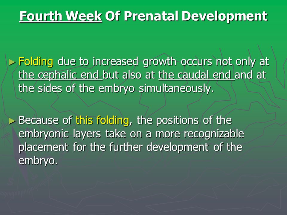Fourth Week Of Prenatal Development