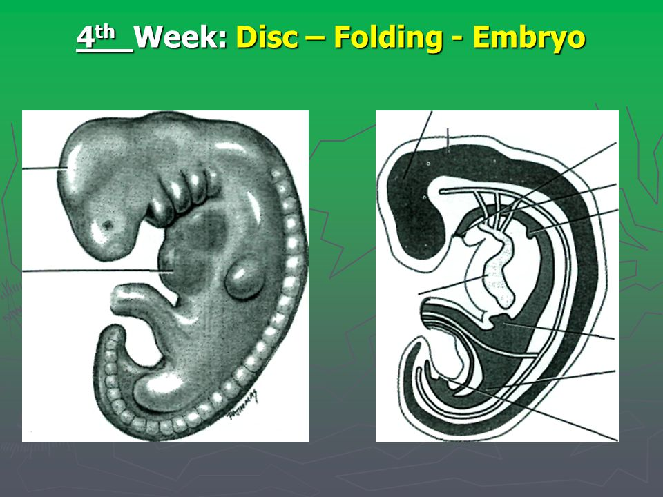 4th Week: Disc – Folding - Embryo