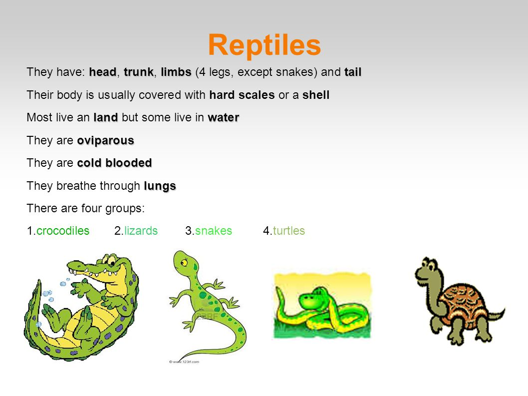 Reptiles They have: head, trunk, limbs (4 legs, except snakes) and tail. Their body is usually covered with hard scales or a shell.
