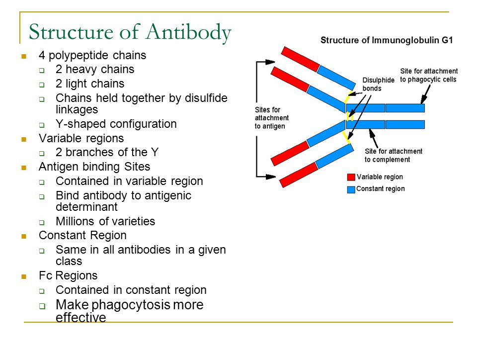 Structure of Antibody Make phagocytosis more effective