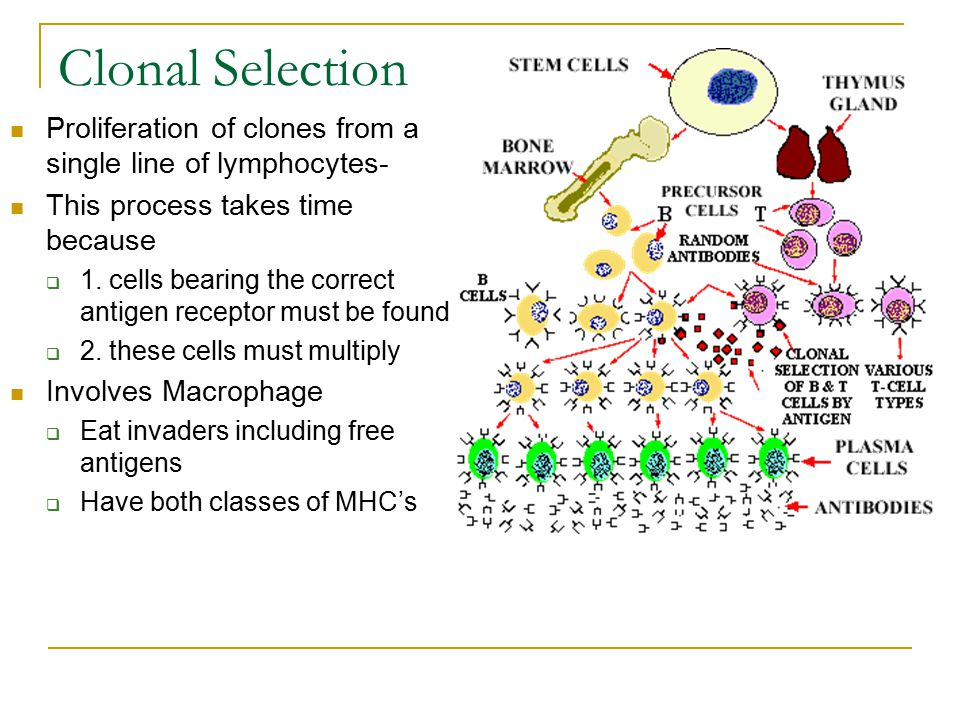 Clonal Selection Proliferation of clones from a single line of lymphocytes- This process takes time because.
