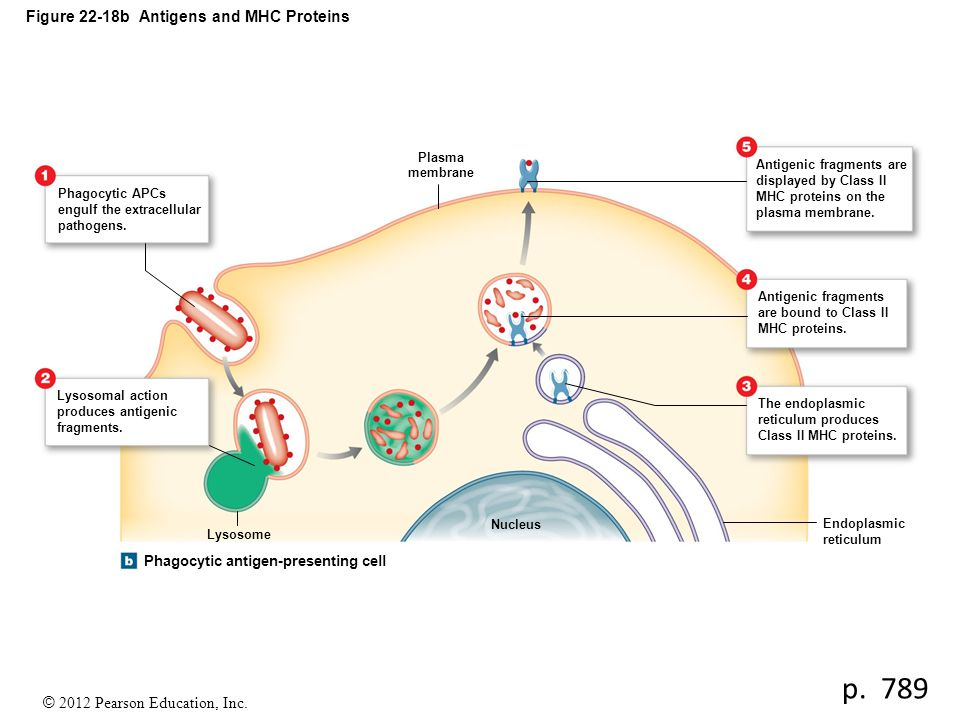 Figure 22-18b Antigens and MHC Proteins