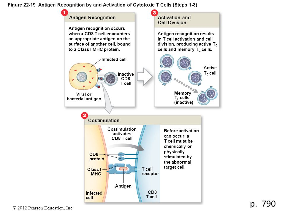 Viral or bacterial antigen Costimulation activates CD8 T cell