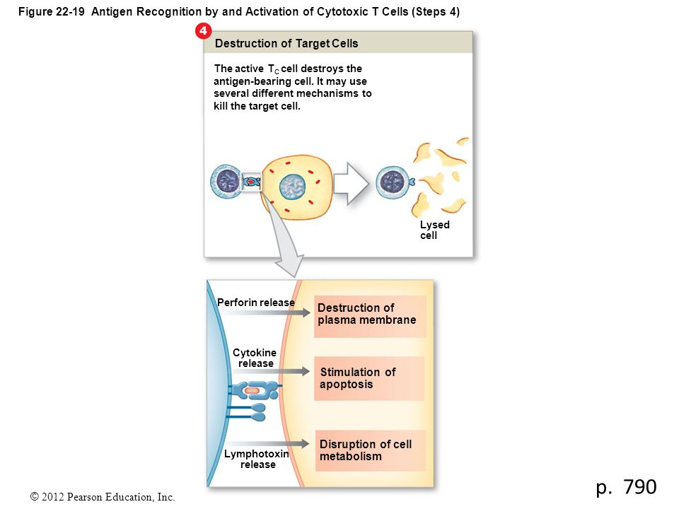 Figure 22-19 Antigen Recognition by and Activation of Cytotoxic T Cells (Steps 4)