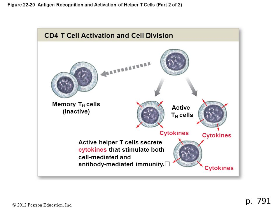 Memory TH cells (inactive)