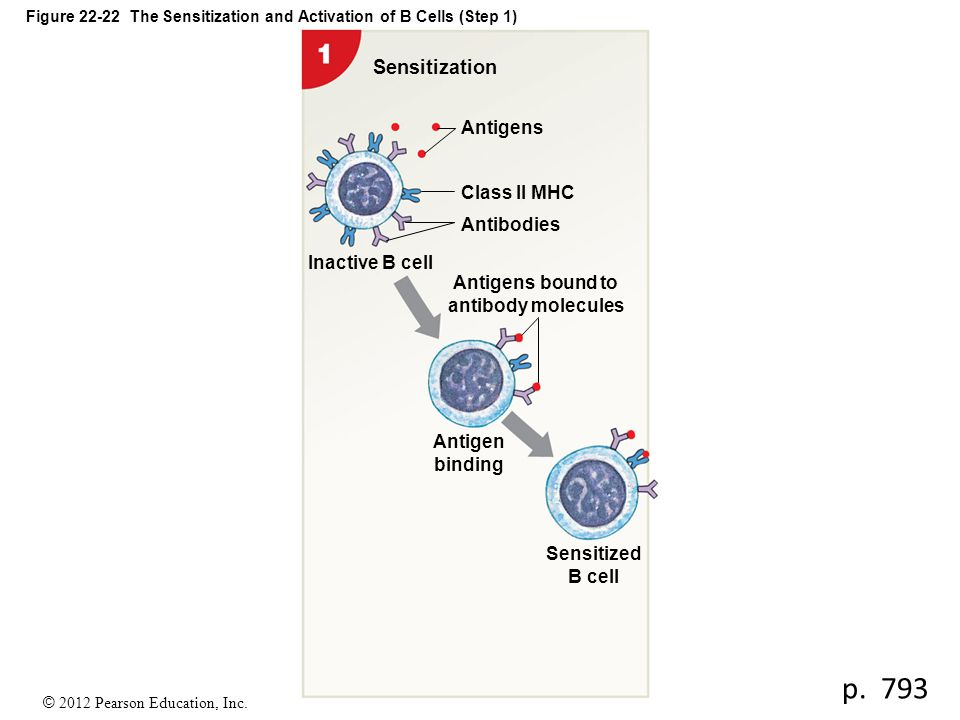 Figure 22-22 The Sensitization and Activation of B Cells (Step 1)