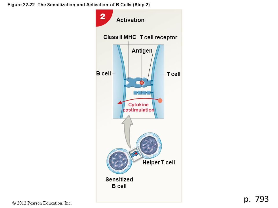 Figure 22-22 The Sensitization and Activation of B Cells (Step 2)