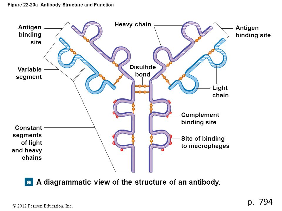 Figure 22-23a Antibody Structure and Function