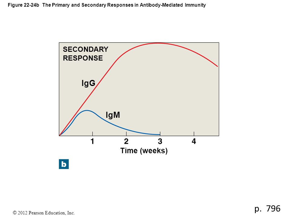 p. 796 IgG IgM Time (weeks) SECONDARY RESPONSE