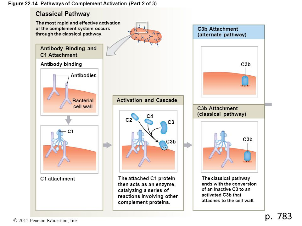 Figure 22-14 Pathways of Complement Activation (Part 2 of 3)