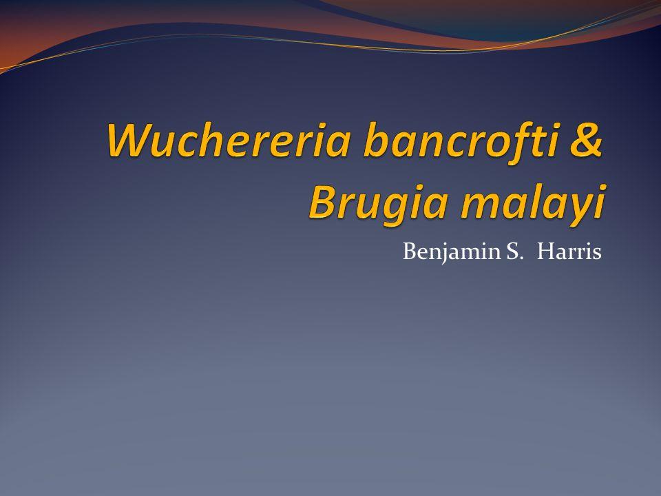 Wuchereria bancrofti & Brugia malayi