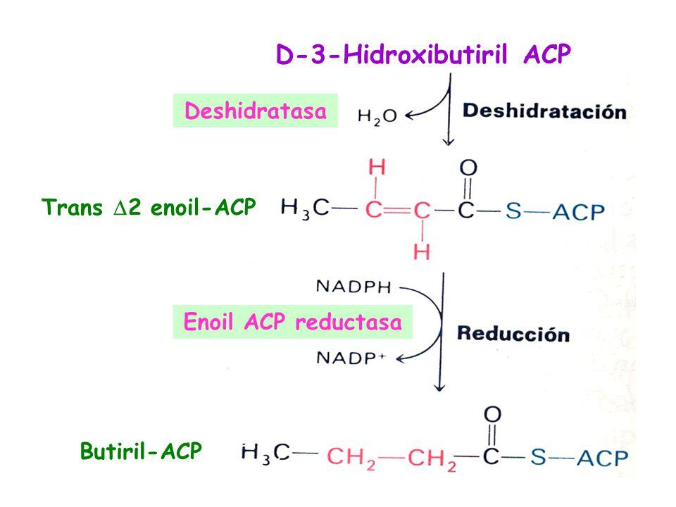 D-3-Hidroxibutiril ACP