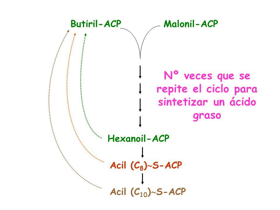 Nº veces que se repite el ciclo para sintetizar un ácido graso