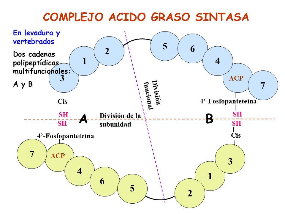 A B COMPLEJO ACIDO GRASO SINTASA 3 1 2 5 6 4 7