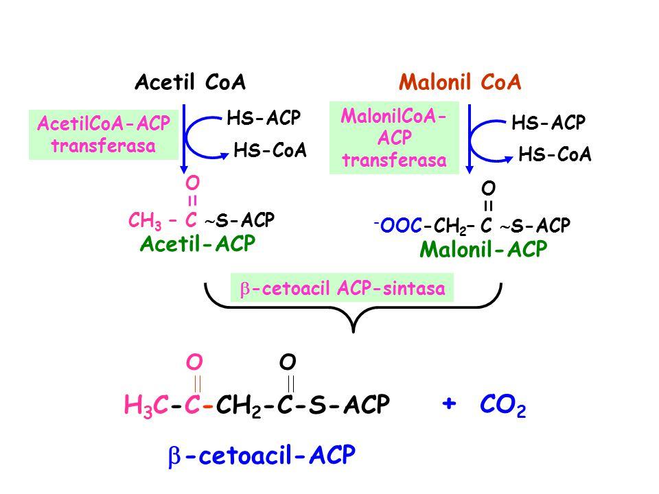 + CO2 H3C-C-CH2-C-S-ACP -cetoacil-ACP Acetil CoA Malonil CoA