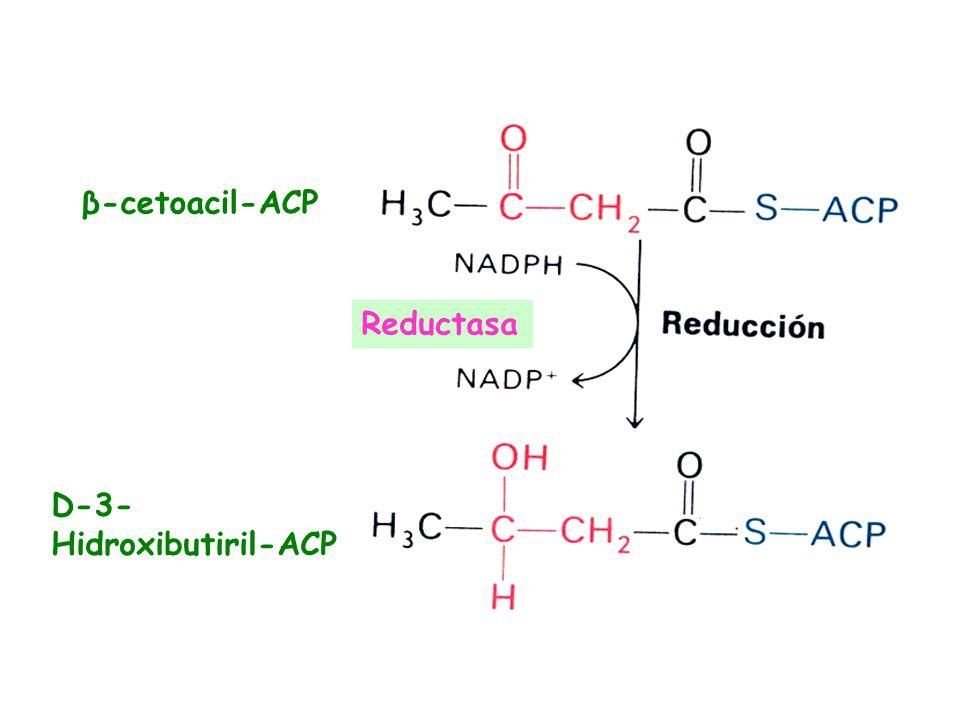 β-cetoacil-ACP Reductasa D-3-Hidroxibutiril-ACP