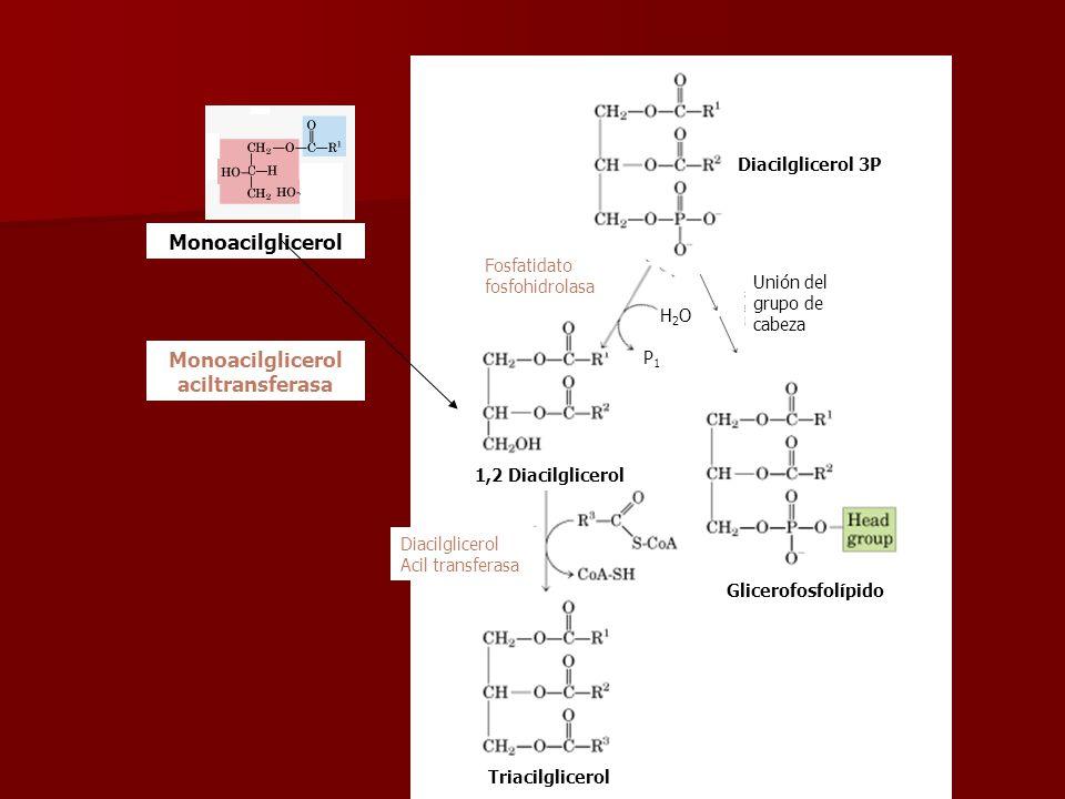 Monoacilglicerol aciltransferasa