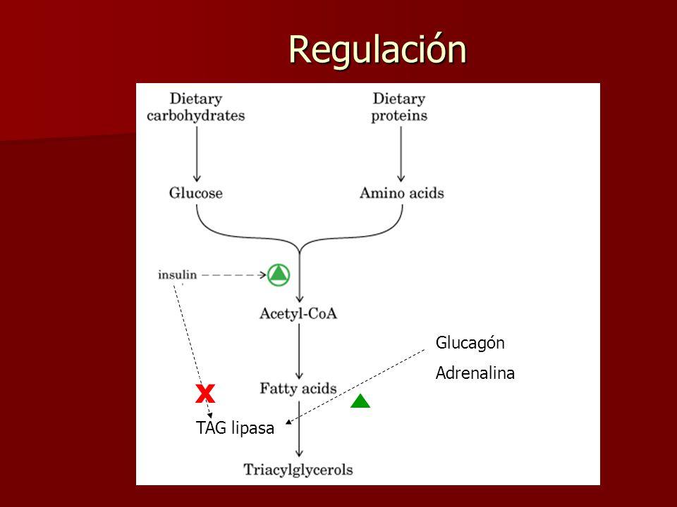 Regulación Glucagón Adrenalina x TAG lipasa