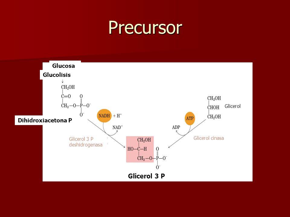 Precursor Glicerol 3 P Glucosa Glucolisis Dihidroxiacetona P Glicerol