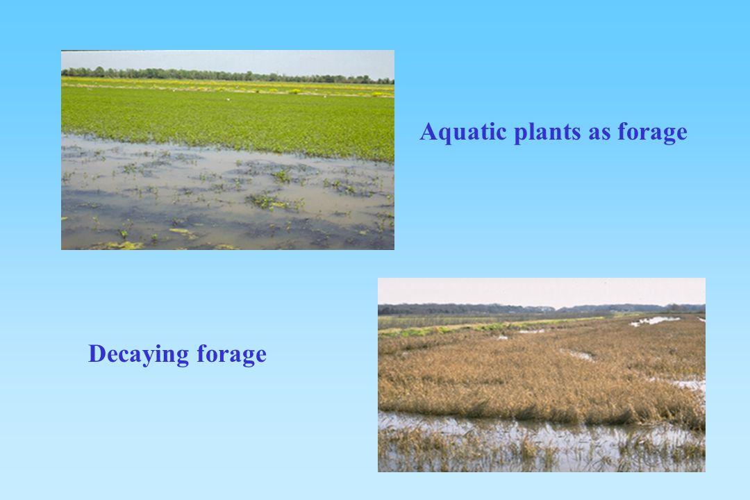 Aquatic plants as forage