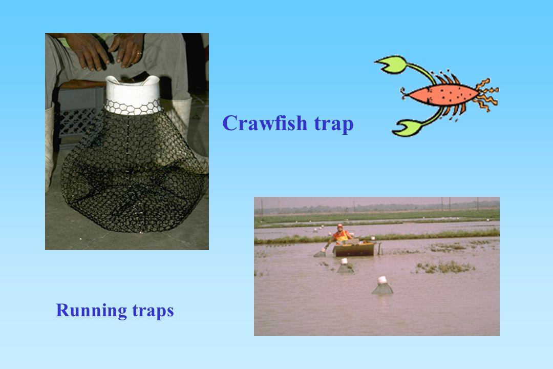 Crawfish trap Running traps