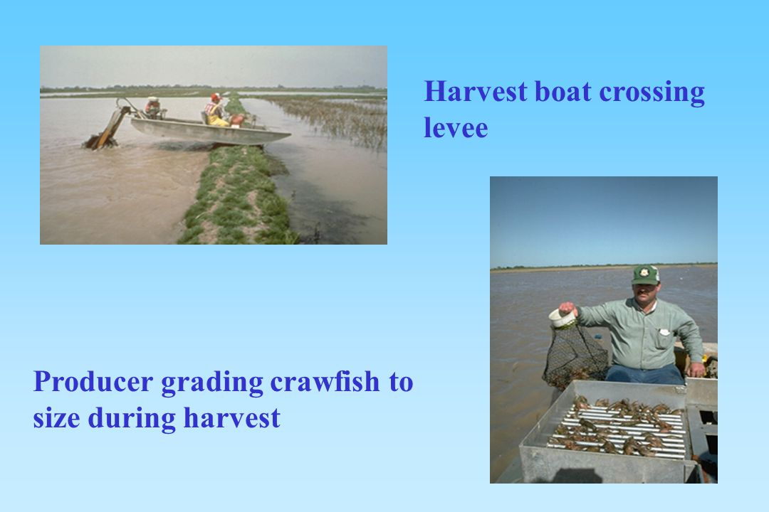 Harvest boat crossing levee Producer grading crawfish to size during harvest