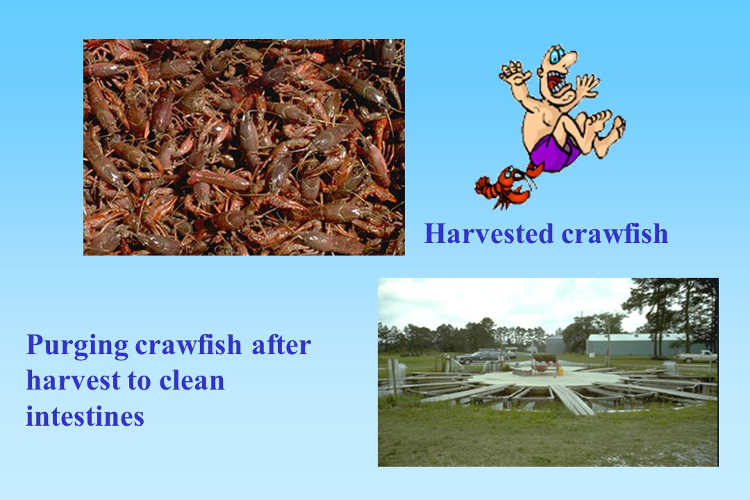 Harvested crawfish Purging crawfish after harvest to clean intestines