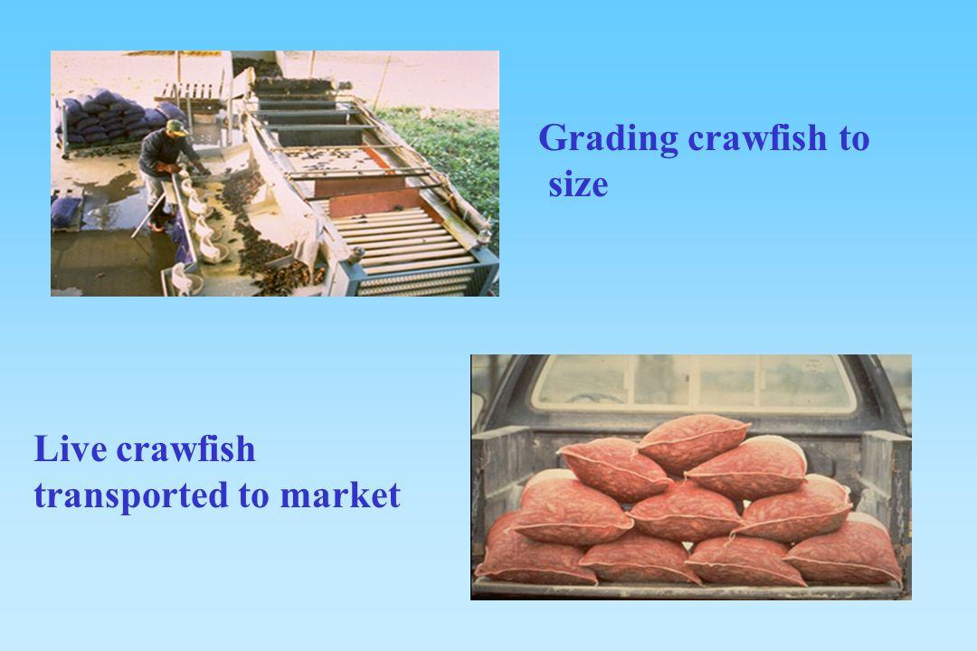 Grading crawfish to size Live crawfish transported to market