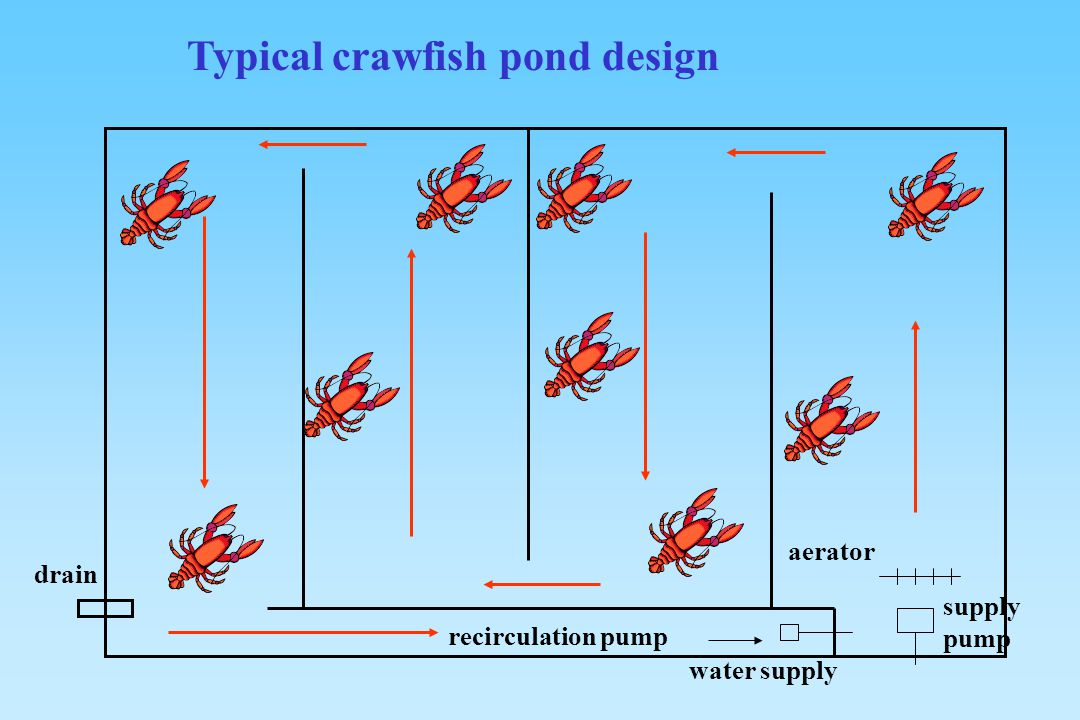 Culture of red swamp crawfish ppt video online download for Pond drain design